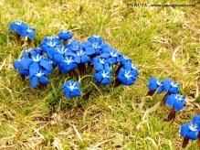 Flores azuladas de alta montaña