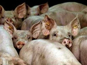 gran hacinamiento de cerdos