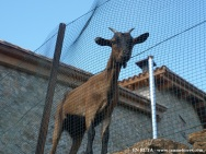 Cabra curiosa en Estana